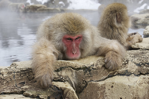 Nagano snow monkey by jerryatflickr
