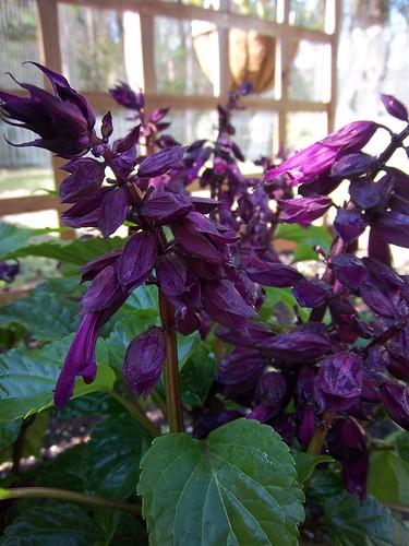 purple vista salvia