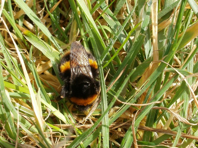 Buff-tailed Bumblebee queen (Bombus terrestris), 19 Feb 2012
