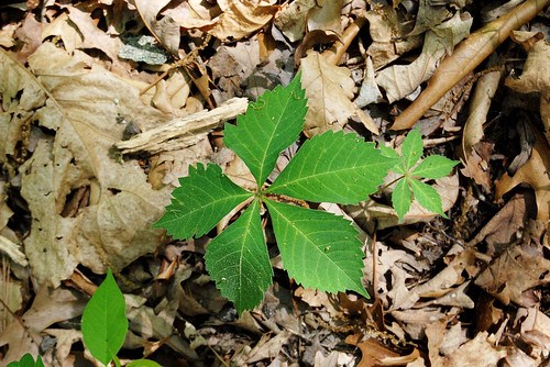 The five leaflets of Virginia Creeper is often mistaken for the three leaflets of Poison Ivy.