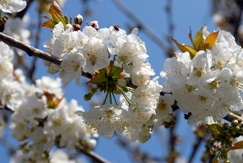 Arbres en fleurs HD-015