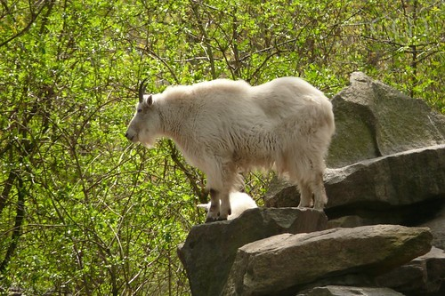 Beautiful Mountain Goats! (Schneeziegen)