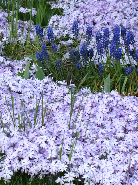 Pale Purple Creeping Phlox & Blue Grape Hyacinth