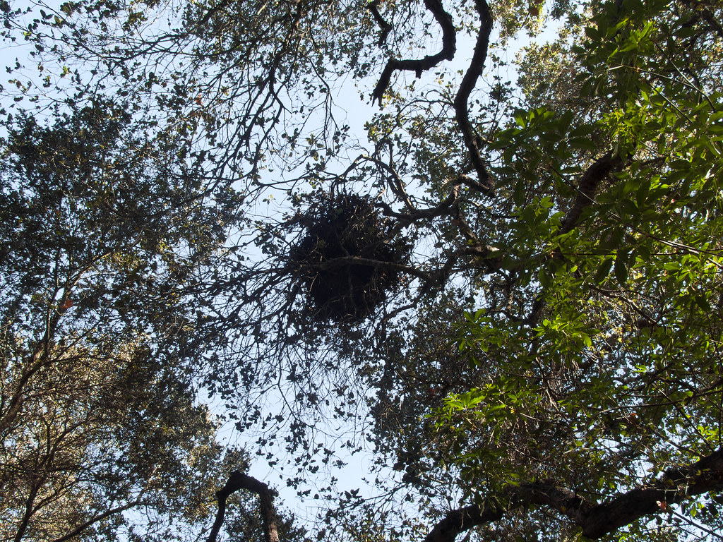 Bird nest, Fremont Older Open Space Preserve