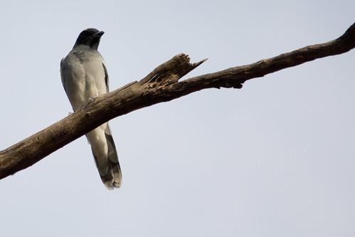 Black-faced Cuckoo-shrike 2012-03-26 (_MG_5135)