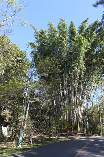 20120117_1817_BP-giant-bamboo
