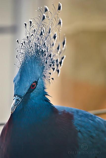 Victoria-Crowned Pidgeon
