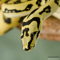 50/50 Jungle/Jaguar Carpet Python | Flickr - Photo Sharing!