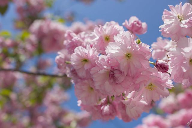 Sakura blooming in Park Slope.