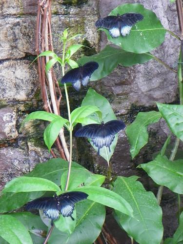 butterflywaterfall (Papilio memnon)