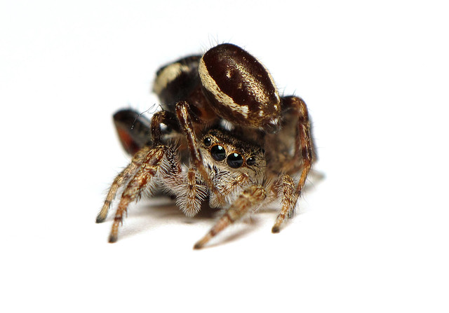 Spider sex - Eris militaris