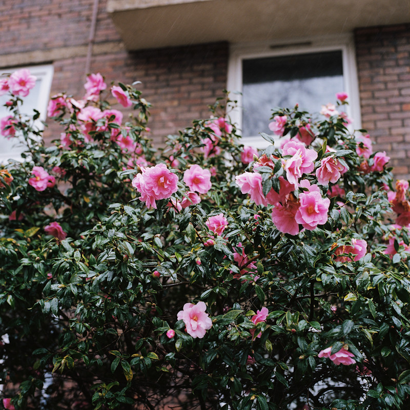 """Camellias, SW11"""