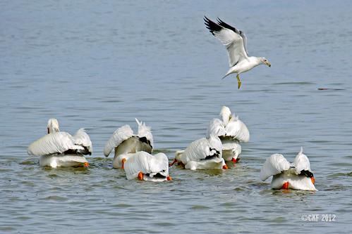 Pelican Mooners