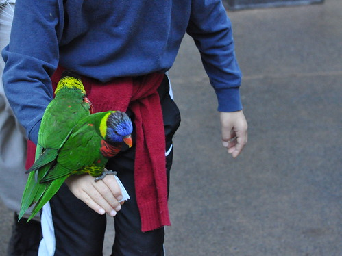 pair of lorikeets w/ boy