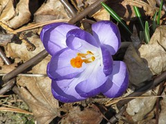 Wide-open crocus