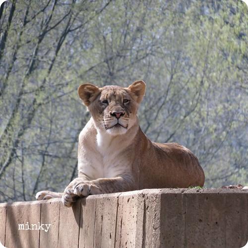 lionforblog