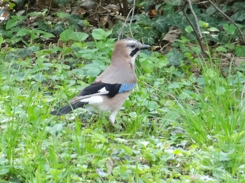 Eurasian Jay (Garrulus glandarius) by bill kralovec