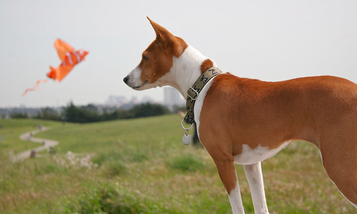 Basenji bunny dreams of fish