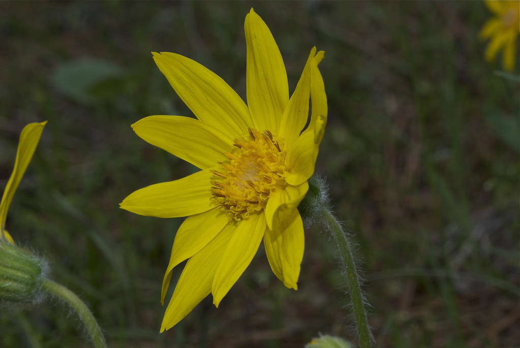 Heart-leaved Arnica, Heart-leaf leopard bane