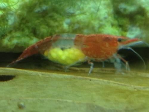 Neocaridina heteropoda red rili