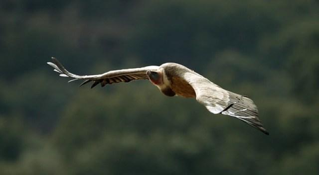 2012_03_03 MON - Griffon Vulture (Gyps fulvus) 03