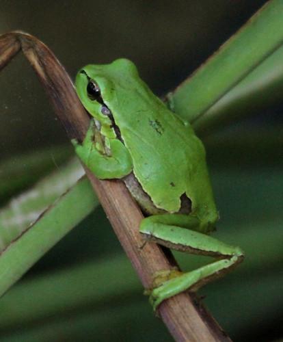 2012_04_24 PB - European Tree Frog (Hyla arborea) 09