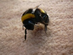 Bumble bee by kathrynlinge