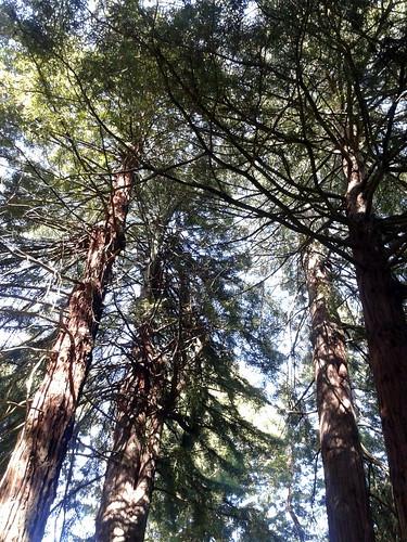 More Coast redwoods (Sequoia sempervirens)