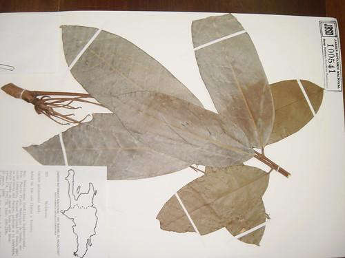 Carapa guianensis
