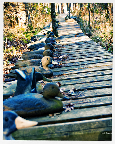 Ducks Lined Up