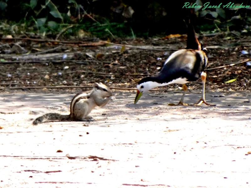 Chipmunk & White breasted water hen