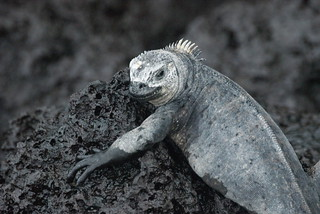 Marine Iguanas. Galápagos. Photo by Ben Tavener.