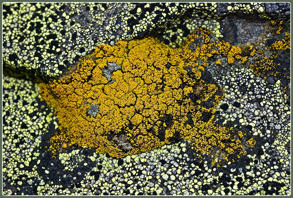Superficial map lichen (light color), Lemon lichen