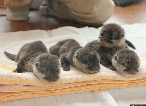four tiny grey baby otters on a folded towel.