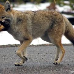 Coyote Teeth Diagram Kicker Cvr102 Wiring Vs Fox