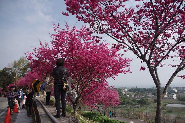 新社路邊的櫻花