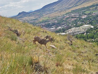 NorthTable Mountain Buck
