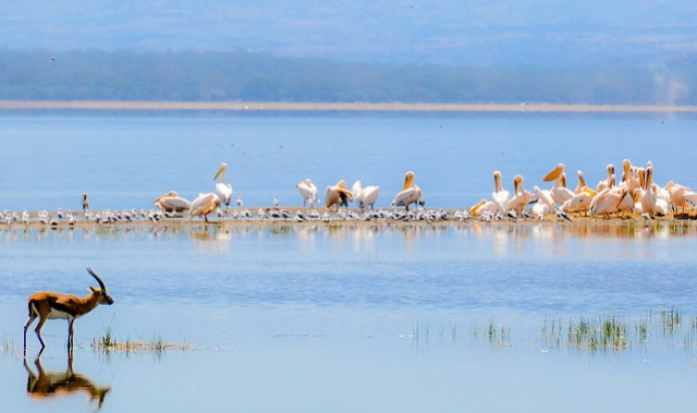 Lake Nakuru Birds 2