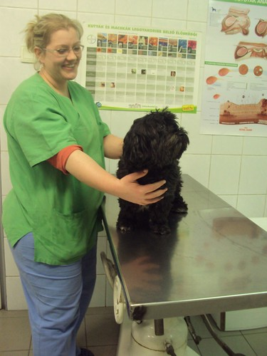 Momo for his annual vaccination for the Rabies and LEPTO and the DHHPi at the Budapest vet by zannnielim