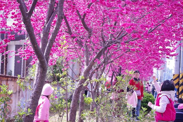 新社高中旁的櫻花林