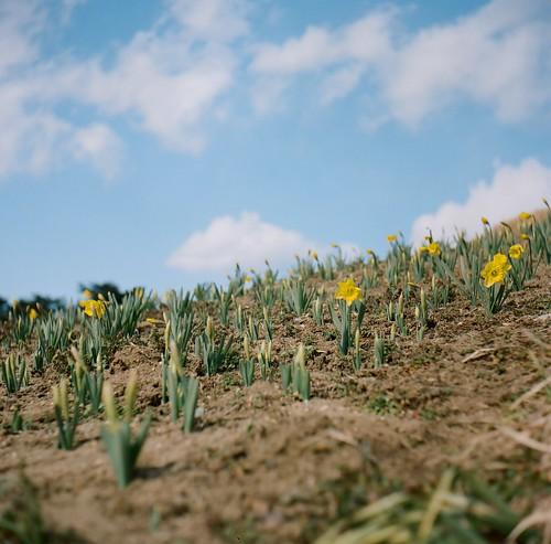 Narcissus area