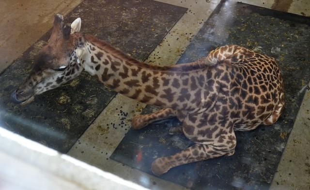 Giraffe Laying Down