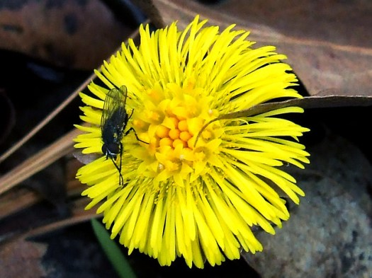 fly on coltsfoot