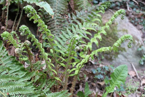 IMG_4010_fern-fronds