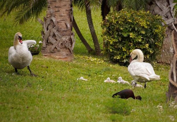 Viera Mute Swan pair and cygnets