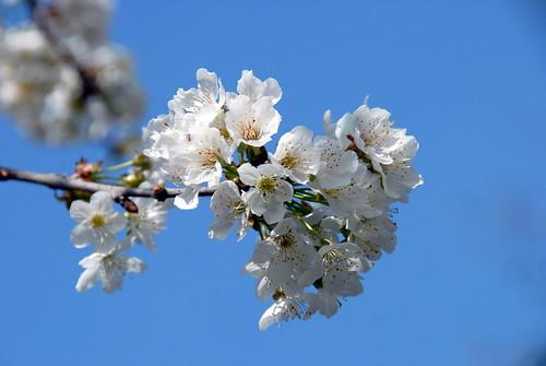Arbres en fleurs HD-018