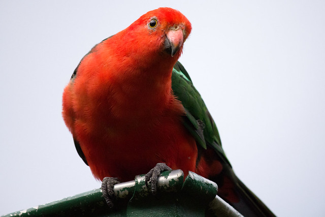 Australian King Parrot (male) 2012-02-19 (_MG_3099)