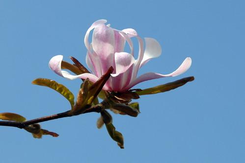 Arbres en fleurs HD-003