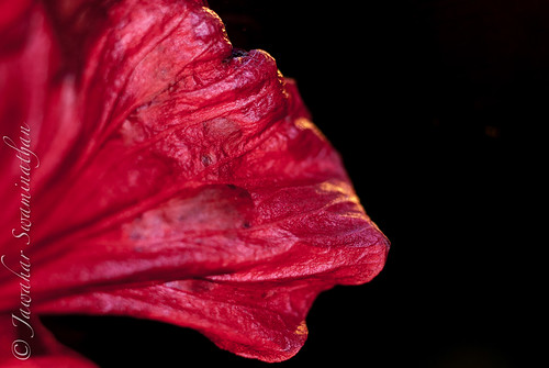 Anatomy Of A Hibiscus Part 2 Extreme Macro Juridicious