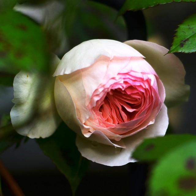 Pink Rose #2